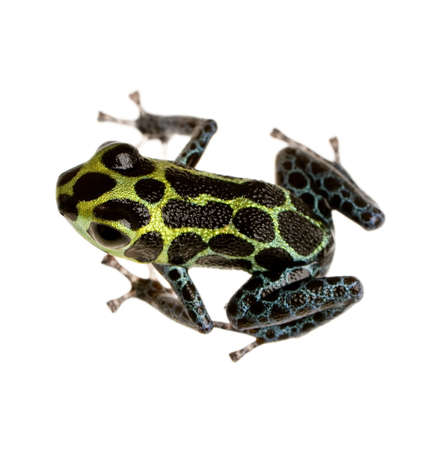 yellow and black poison dart frog: Imitating Poison Frog - Ranitomeya imitator  in front of a white background