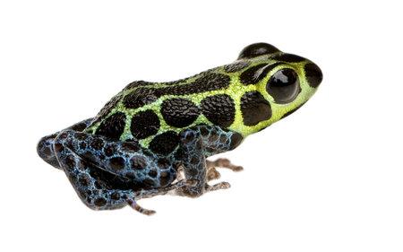 poison frog: Imitando Poison Frog - Ranitomeya imitatore davanti a uno sfondo bianco