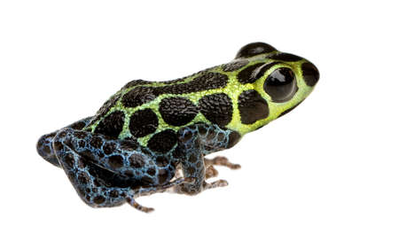 Imitating Poison Frog - Ranitomeya imitator  in front of a white background Stock Photo - 3232316