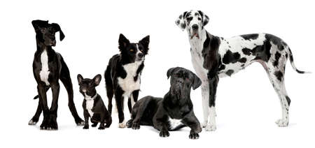 herding dog: group of dogs in front of a white background