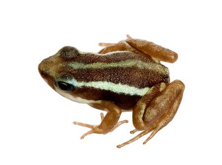poison frog: Phantasmal veleno rana - Epipedobates tricolore di fronte a uno sfondo bianco