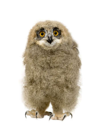 eurasian: Eurasian Eagle Owl - Bubo bubo (6 weeks) in front of a white background