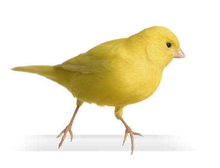 Yellow canary - Serinus canaria on its perch in front of a white background