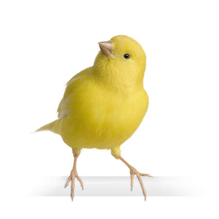 serine: Yellow canary - Serinus canaria on its perch in front of a white background