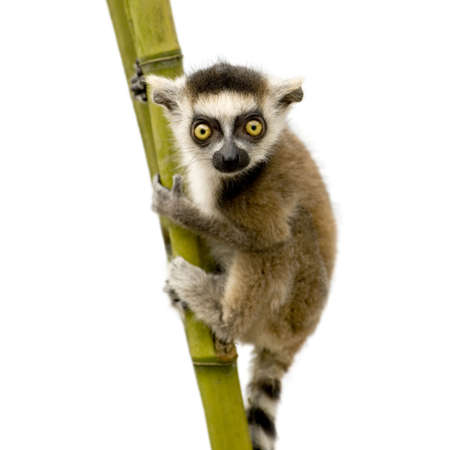 weeks: Ring-tailed Lemur (6 weeks) - Lemur catta in front of a white background