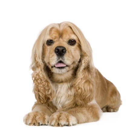 gundog: american Cocker Spaniel (3 years) in front of a white background
