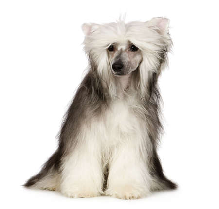 lapdog: chinese crested dog in front of a white background