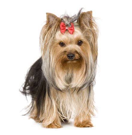 yorkshire terrier: Yorkshire Terrier (15 months) in front of a white background