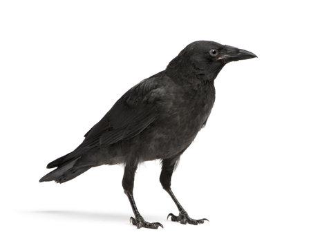 corvus: J�venes Corvus corone - Corvus nombre (3 meses) delante de un fondo blanco  Foto de archivo