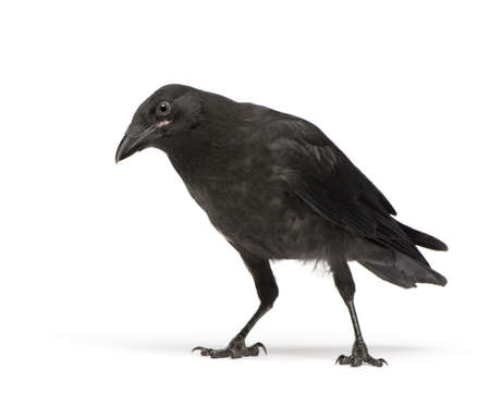 crow: Young Carrion Crow - Corvus corone (3 months) in front of a white background