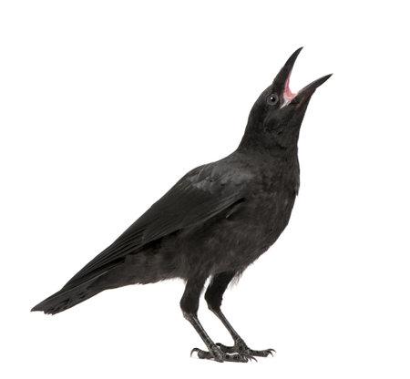 corbeau: Les jeunes Carrion Crow - Corvus corone (3 mois) devant un fond blanc