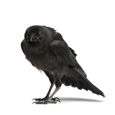 corvo imperiale: Giovane Carrion Crow - Corvus corone (3 mesi) di fronte a uno sfondo bianco