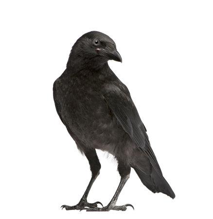 corvo imperiale: Giovani Carrion Crow - Corvus corone (3 mesi) di fronte a uno sfondo bianco Archivio Fotografico