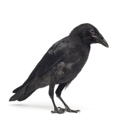 까마귀: Young Carrion Crow - Corvus corone (3 months) in front of a white background