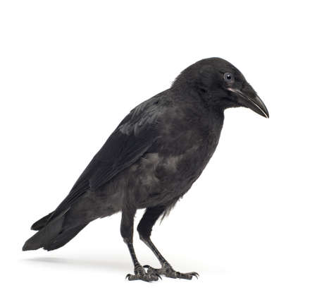 crows: Young Carrion Crow - Corvus corone (3 months) in front of a white background