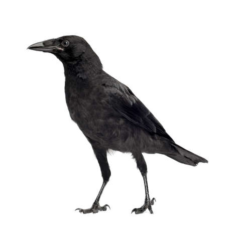 carrion: Young Carrion Crow - Corvus corone (3 months) in front of a white background