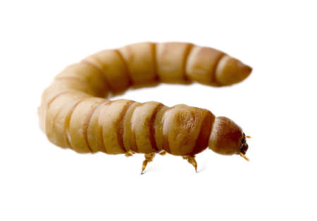 mealworm: Larva of Mealworm - Tenebrio molitor in front of a white background Stock Photo