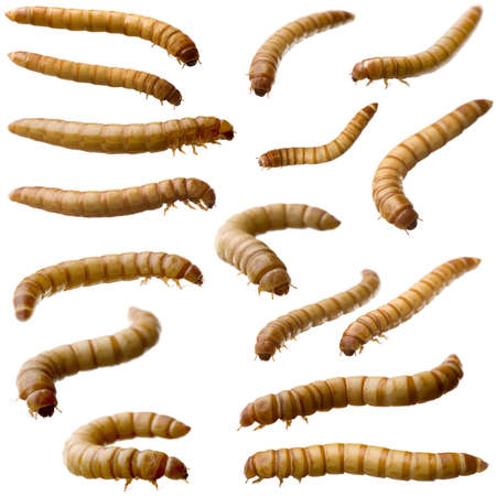 mealworm: 16 Larva of Mealworm - Tenebrio molitor in front of a white background Stock Photo
