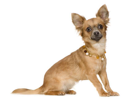 18: chihuahua (18 months) in front of a white background