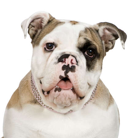 wrinkely: english Bulldog (5 months) in front of a white background Stock Photo