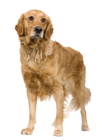 Golden Retriever (2 years) in front of a white background photo