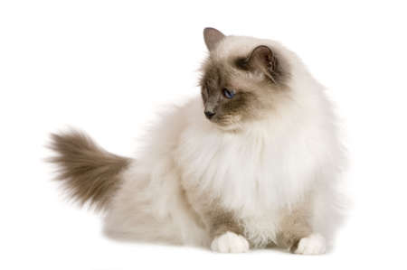 blue grey coat: Birman (1 year) in front of a white background Stock Photo