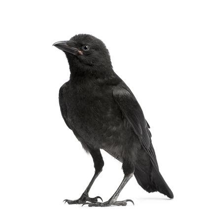 corvus: Carrion Crow joven - Corvus corone (3 meses) delante de un fondo blanco