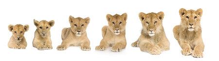 白い背景の前に 9 ヶ月間に 3 から成長するカブのライオン
