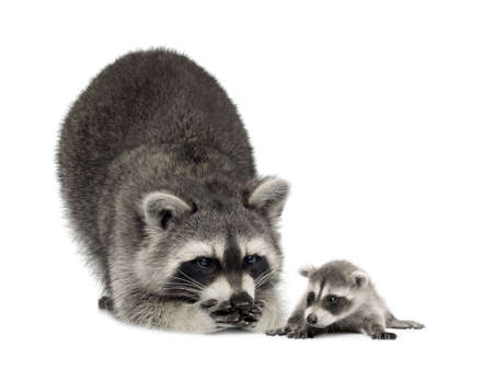 scavenging: raccoonand her  - Procyon lotor in front of a white background