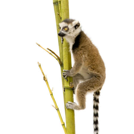 catta: Ring-tailed Lemur (6 weeks) - Lemur catta in front of a white background