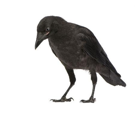 corvus: Pareja Carri�n Crow - Corvus corone (3 meses) delante de un fondo blanco
