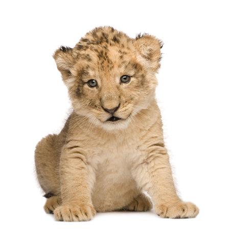 カブ: 白い背景の前にライオンの子 (6 週間)