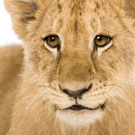 Lion Cub (4 months) in front of a white background