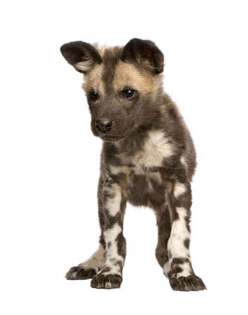 weeks: African wild dog cub(9 weeks) - Lycaon pictus  in front of a white background