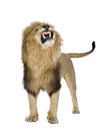 angry lion: Lion (8 years) - Panthera leo in front of a white background