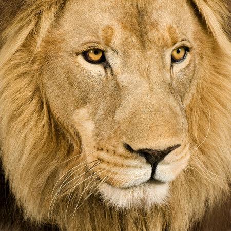 panthera leo: Close-up de una cabeza de le�n (4 a�os y medio) - Panthera leo en frente de un fondo blanco