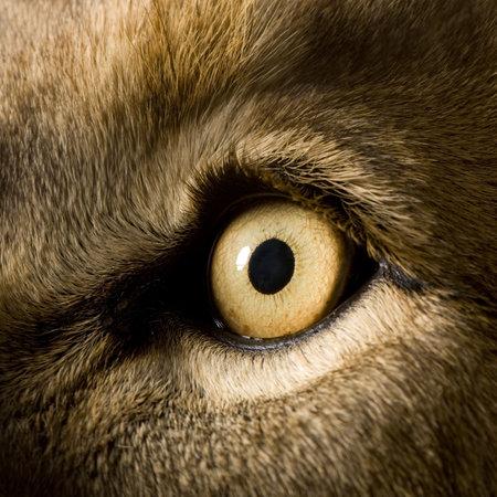 panthera leo: Le�n (4 a�os y medio) - Panthera leo delante de un fondo blanco