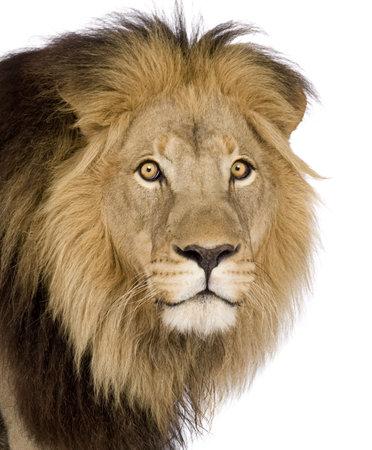 panthera leo: Primer plano de un Le�n de la cabeza (4 y medio a�os) - Panthera leo delante de un fondo blanco