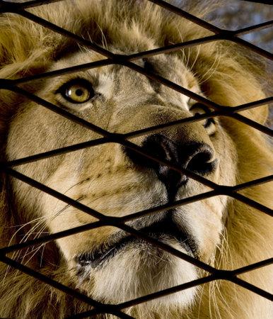 tierschutz: Lion (4 Jahre) - Panthera leo vor einem wei�en Hintergrund