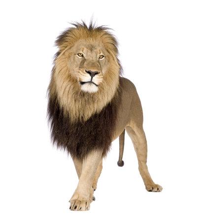 panthera leo: Le�n (4 a�os y medio) - Panthera leo en frente de un fondo blanco