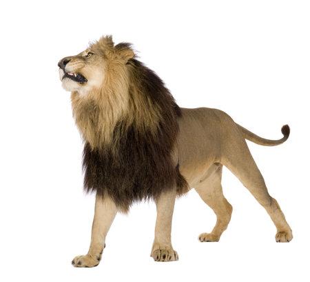 the lions: Le�n (4 a�os y medio) - Panthera leo delante de un fondo blanco