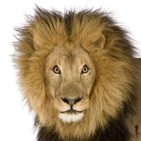 panthera leo: Close-up sobre una cabeza de le�n (8 a�os) - Panthera leo delante de un fondo blanco Foto de archivo