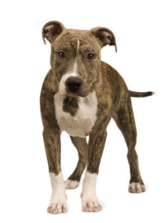 American Staffordshire terrier puppy (5 months) in front of a white background Stock Photo
