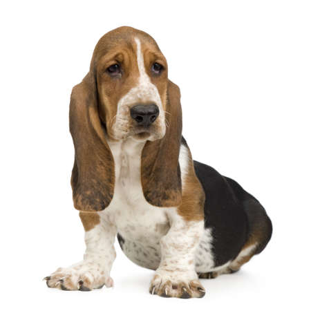 whelp: Basset Hound (3 months) in front of a white background Stock Photo