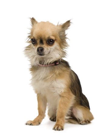 long haired chihuahua: long haired chihuahua (2 years) in front of a white background