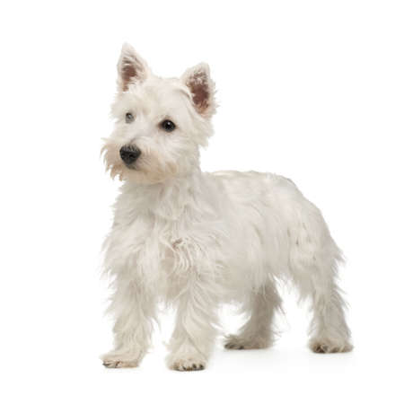 highland: West Highland White Terrier (5 months) in front of a white background Stock Photo