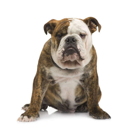 stitting: english Bulldog (6 months) in front of a white background
