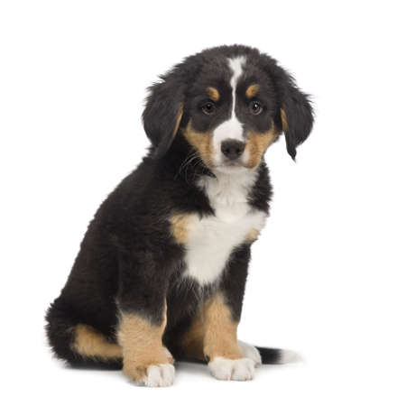 Bernese mountain dog (7 weeks) in front of a white background photo
