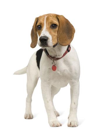 collarin: Beagle (8 meses) delante de fondo blanco