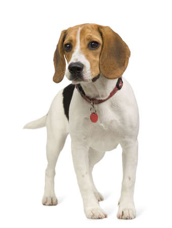 Beagle (8 months) in front of white background Stock Photo